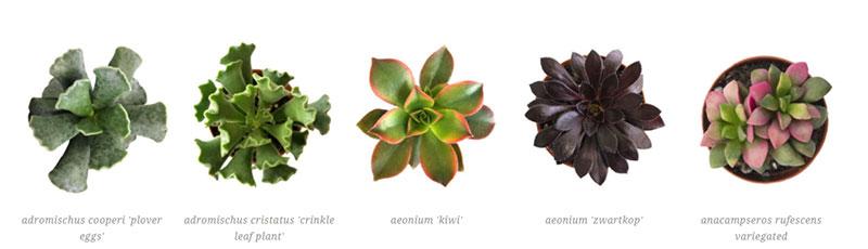 adromischus cooperi 'plover eggs', adromischus cristatus 'crinkle leaf plant', aeonium 'kiwi', aeonium 'zwartkop', anacampseros rufescens variegated