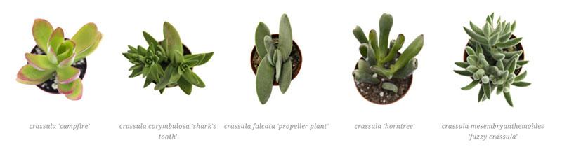 crassula 'campfire', crassula corymbulosa 'shark's tooth', crassula falcata 'propeller plant',  crassula 'horntree', crassula mesembryanthemoides 'fuzzy crassula'