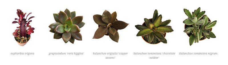 euphorbia trigona, graptosedum 'vera higgins', kalanchoe orgyalis 'copper spoons', kalanchoe tomentosa 'chocolate soldier' , Kalanchoe tomentosa nigrum