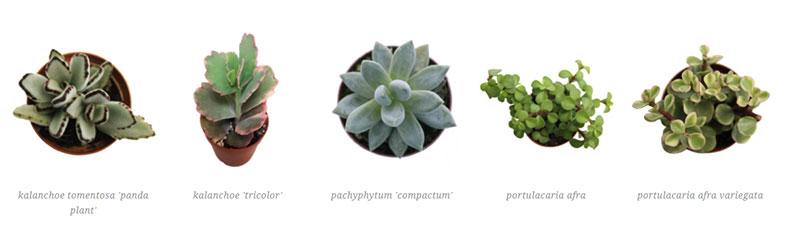 kalanchoe tomentosa 'panda plant', kalanchoe 'tricolor', pachyphytum 'compactum', portulacaria afra, portulacaria afra variegata