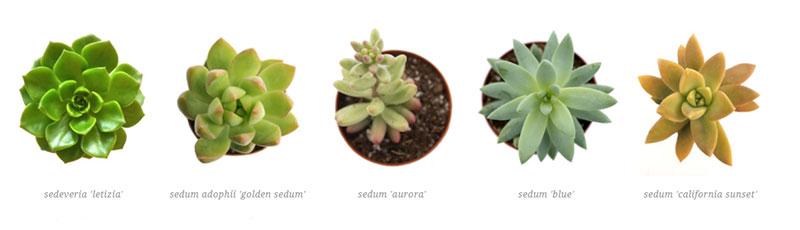 sedum 'carnicolor', sedum 'graptopetalum paraguayenses', sedum pachyphyllum 'blue jelly beans', sedum 'vera higgins', senecio archeri 'himalaya senecio