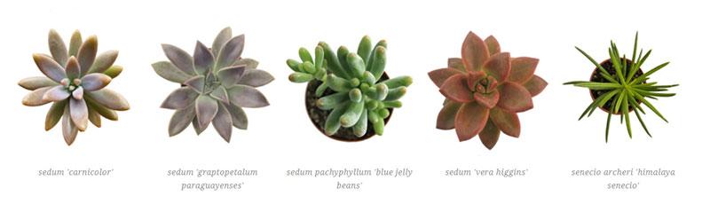 sedeveria 'letizia', sedum adophii 'golden sedum', sedum 'aurora', sedum 'blue', sedum 'california sunset'