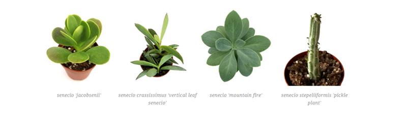 senecio 'jacobsenii', senecio crassissimus 'vertical leaf senecio', senecio 'mountain fire', senecio stepeliiformis 'pickle plant'