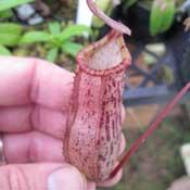 Nepenthes Spectabilis x ventricosa potted